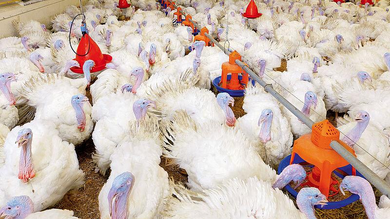 Wadah pakan Gladiator untuk peternakan ayam kalkun