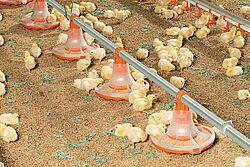 Anak ayam makan dari wadah pakan baru untuk produksi ayam pedaging