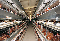 Closed house system Univent untuk produksi telur