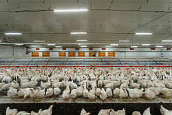 Pemeliharaan kandang kelompok induk ayam