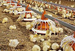 Perlengkapan pakan untuk penggemukan ayam secara modern