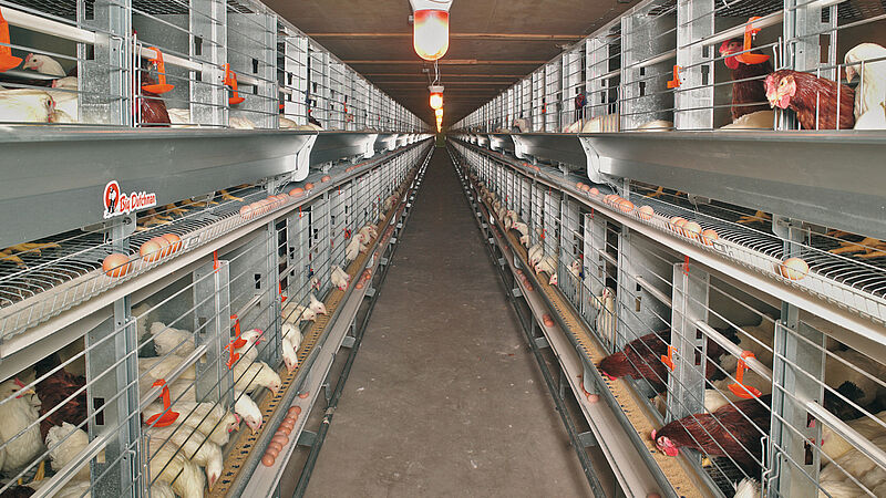EUROVENT-Parents untuk pemeliharaan induk ayam petelur