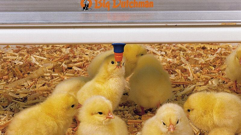 Pertumbuhan unggas: Anak ayam pada dot tempat minum dari Big Dutchman yaitu SaniStar