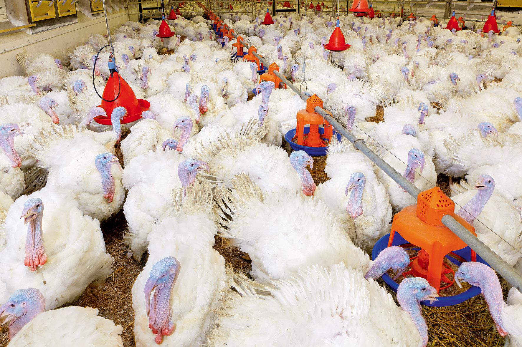 Peternakan Ayam Kalkun Pertumbuhan Unggas Big Dutchman
